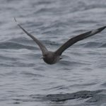 Chilean Skua Stercorarius chilensis. Photo: Gunnar Engblom. Photo: Gunnar Engblom