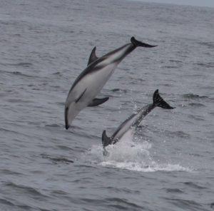 Dusky Dolphins. Photo: Gunnar Engblom