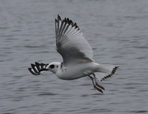 Swallow-tailed Gull. Creagrus furcatus. Photo: Gunnar Engblom.