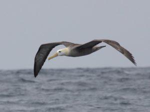 Waved Albatross Phoebastria irrorata. Adult. Photo: Gunnar Engblom