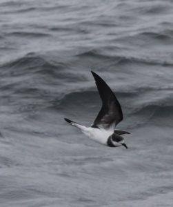 Hornby's (Ringed) Storm Petrel. Photo Gunnar Engblom