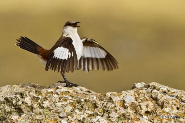 White-bellied Cinclodes Cinclodes palliatus. Photo: Dubi Shapiro