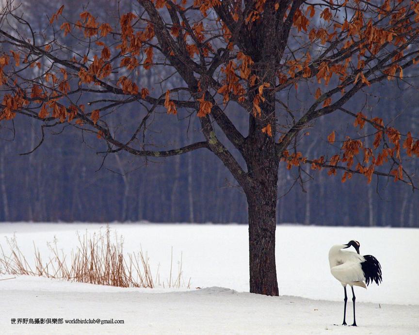Red Crowned Crane, Hokkaido, Japan. Photo: ChunHsien Huang
