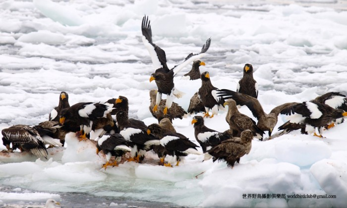 Steller's Eagle on the pack-ice, Hokkaido, Japan. Photo: ChunHsien Huang