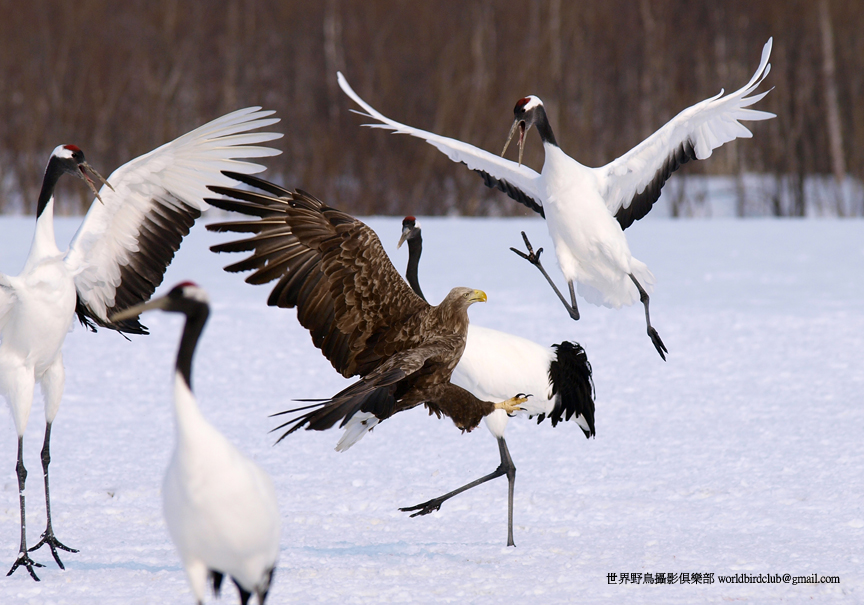 Japanese Crane and White-tailed Eagle commotion. Photo. Chun Hsien Huang.