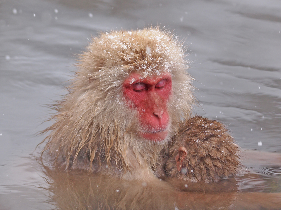 Snow Monkey - Japanese Macaque, Japan. Photo: CHun Hsien Huang