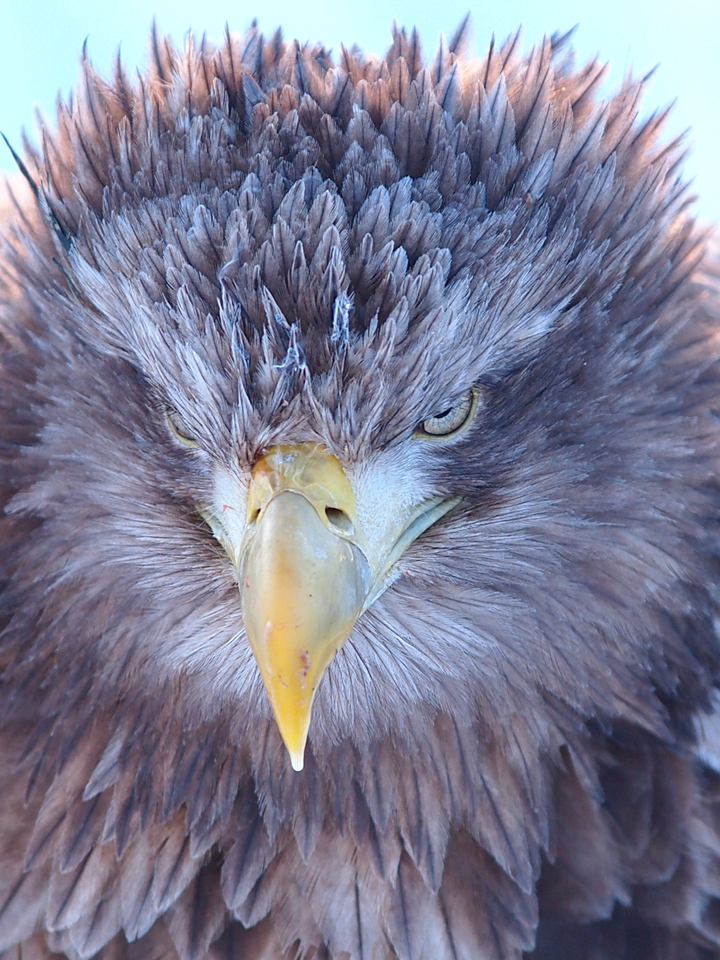 Golden-eagle close up. Photo: ChunHsien Huang