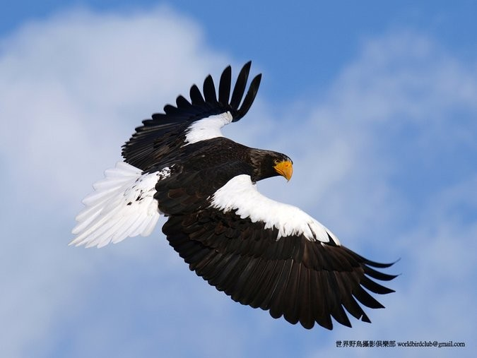 Stellers Eagle in flight ChunHsien Huang