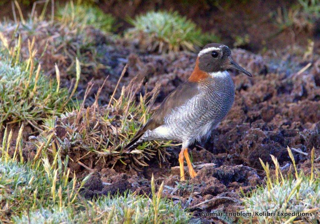 Diademed Sandpiper-Plover at Ticlio bog. Photo. Gunnar Engblom