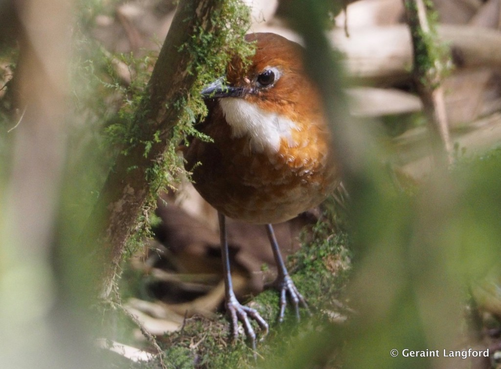 Red-and-White Antpitta by Geraint Langford om Manu road Cusco