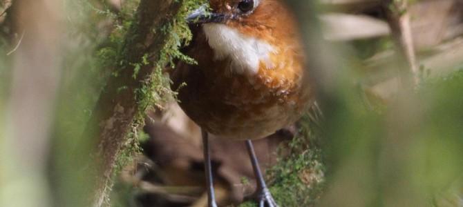 Manic Birding on Manu road.