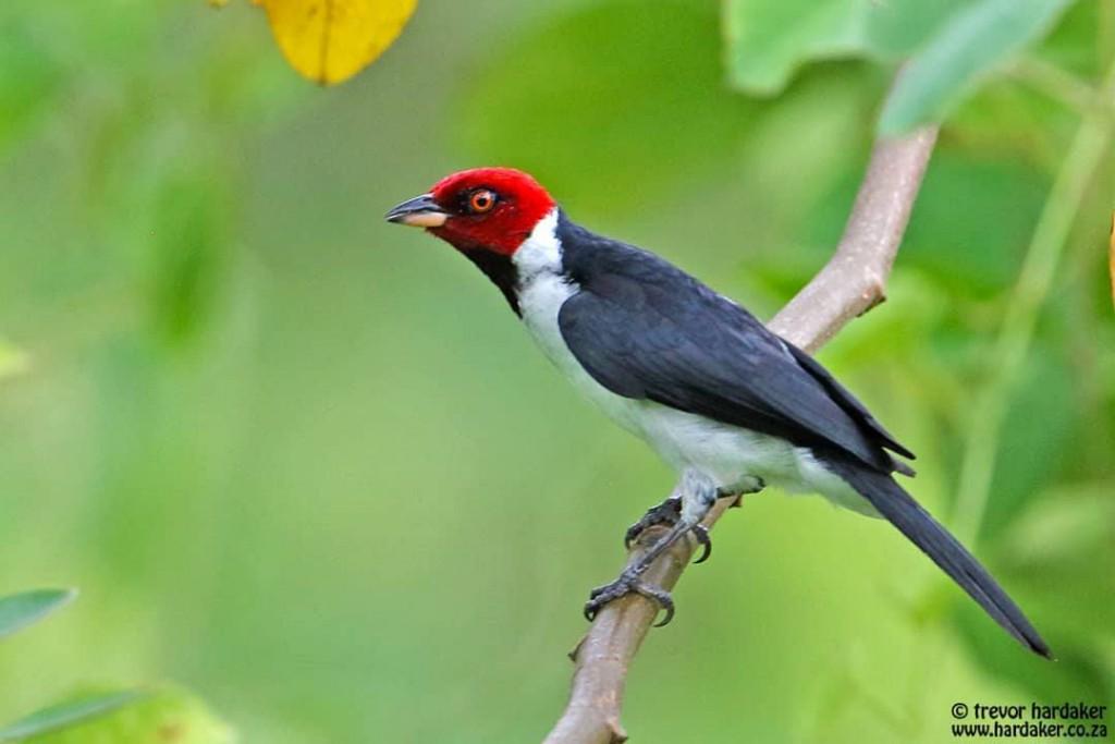 Red-capped Cardinal. Trevor Hardaker. Puerto Maldonado, Peru