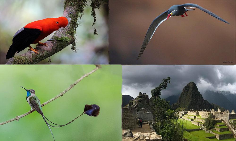 Cock of the Rock - Carlos Altamirano. Inca Tern - Kevin Bartlet. Marvelous Spatuletail - Dustin Chen. Machu Picchu Gunnar Engblom