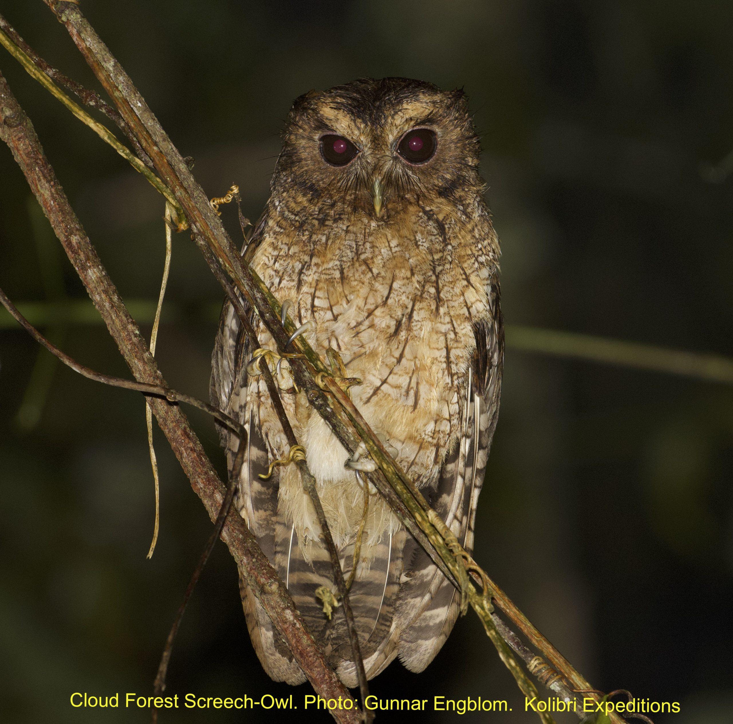 Cloud-forest Screech-Owl - Hacienda Armorique. Gunnar Engblom