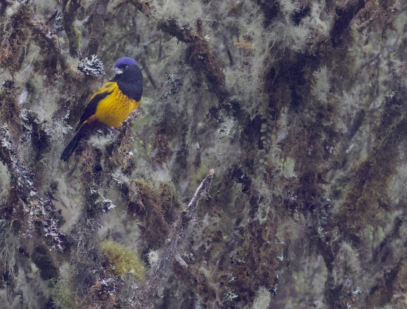 Golden-backed Mountain-Tanager.