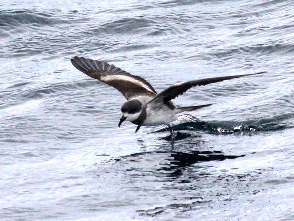 Hornby's Storm-Petrel Oceanodroma Hornbyi Photo: Gunnar Engblom