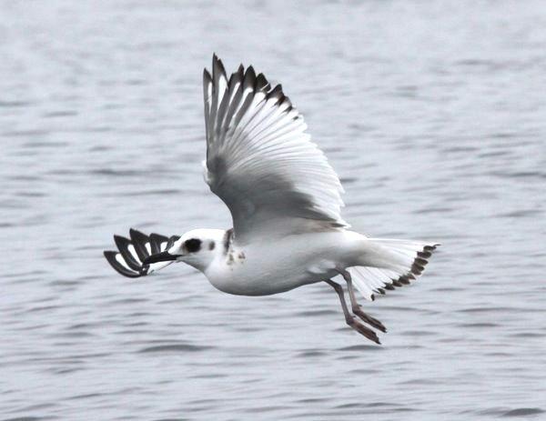 Swallow-tailed Gull. Creagrus furcatus.Photo Gunnar Engblom