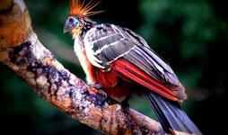 Birding Peru Birdwatching Tours And Bird Photography