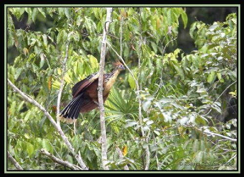 Hoatzin - Photo: Robert Scanlon
