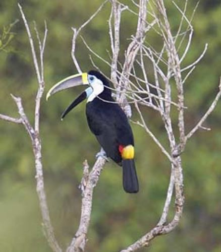 Cuvier´s Toucan - Photo: Robert Scanlon
