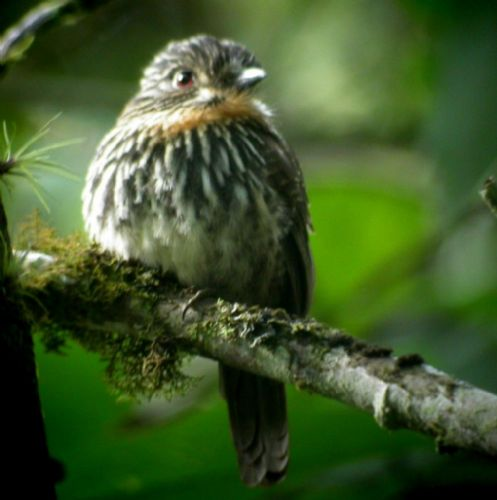 Black-streaked Puffbird - Photo: Gunnar Engblom