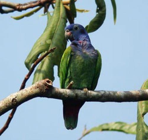 The birdwatching highlights of Manu National Park