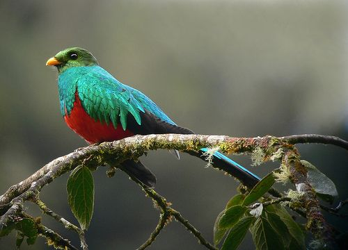 Golden-headed Quetzal - Photo: Juan Chalco