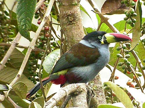 Gray-breasted Mountain-Toucan, Andigena hypoglauca Leymebamba, Per? Photo:Gunnar Engblom
