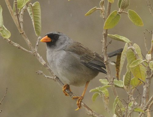 Gray-winged Inca-Finch, Incaspiza ortizi Hacienda El Lim?n, Per? Photo:Juan Chalco