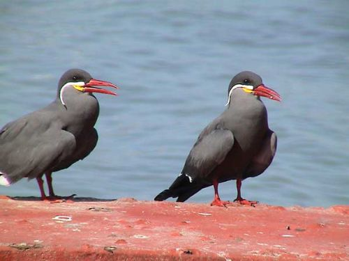 Inca Tern - Photo: Gunnar Engblom