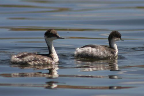 Junin Grebe and Silvery Grebe - Photo: Alejandro Tello