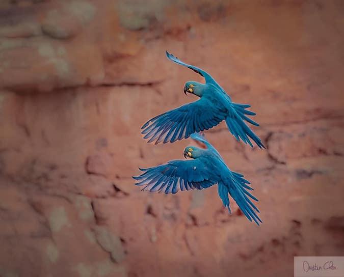Lear's Macaw Dustin Chen.
