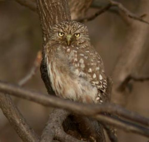 Pacific Pygmy-Owl - Photo: Roger Ahlman