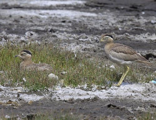 Peruvian Thick-knee, Burhinus superciliaris - Photo: Gunnar Engblom
