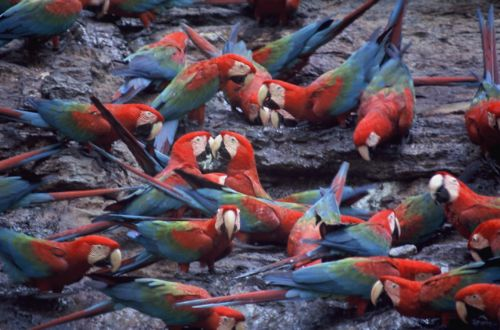 Red-and-green Macaw Photo: Alejandro Tello
