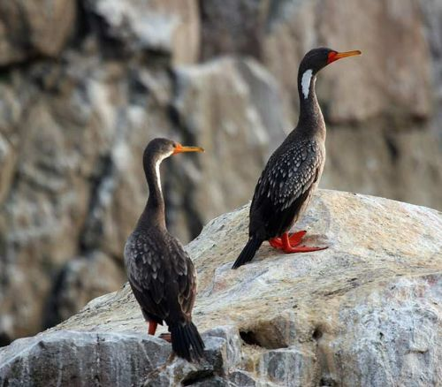 Red-legged Cormorant - Photo: Gunnar Engblom