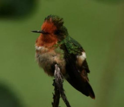 Rufous-creasted Coquette - Photo: Roger Ahlman